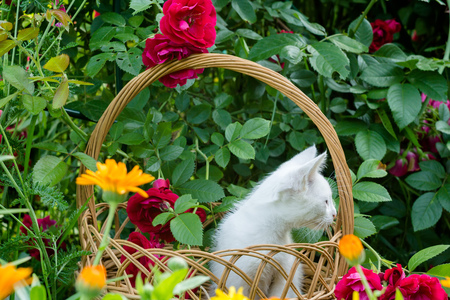 baby  pussy: Little white kitten in a wicker basket and red roses in the garden.