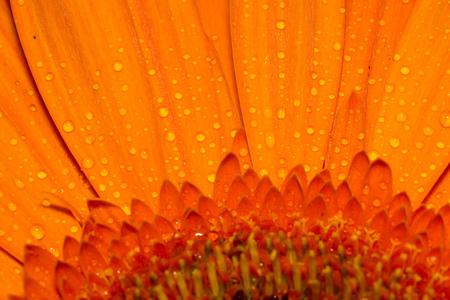 Grote gerbera bloem van de fel oranje kleur macro foto.