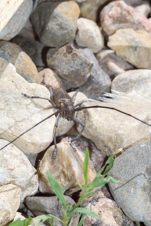 the antennae: Big beetle with very long antennae on stones, Acanthocinus aedilis.