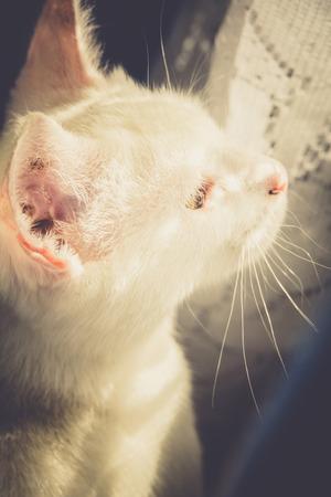 whiskar: Portrait of a cute white cat, close up photo.