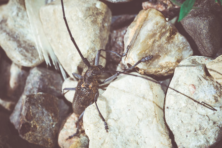 long horn beetle: Big beetle with very long antennae on stones, Acanthocinus aedilis, rustic colors. Stock Photo
