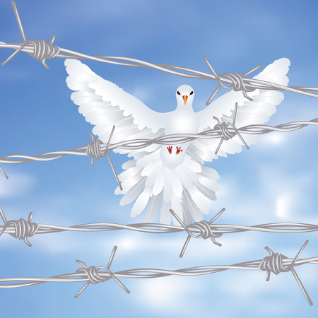 barb: White pigeon, dove flies behind metal barbed wire fence.