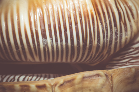 spiny: Big spiny seashell of white and brown color, close up.