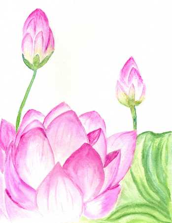 lilly: Water lily, lotus flower, watercolor painted illustration.