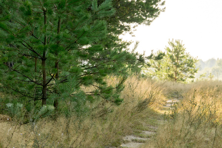 Pine forest in the morning at the end of summer. Stock Photo