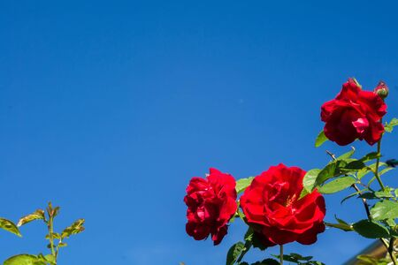 Red roses climb a rose arbor in the garden. Stock Photo