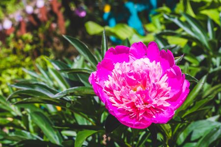 flori culture: Decorative pink peony flower in the garden, close up background. Stock Photo