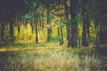 the end: Pine forest in the morning at the end of summer, vintage colors. Stock Photo
