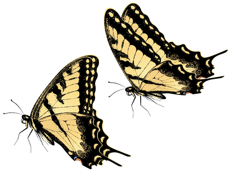 swallowtail: Black yellow tiger swallowtail, big machaon butterfly illustration. Stock Photo