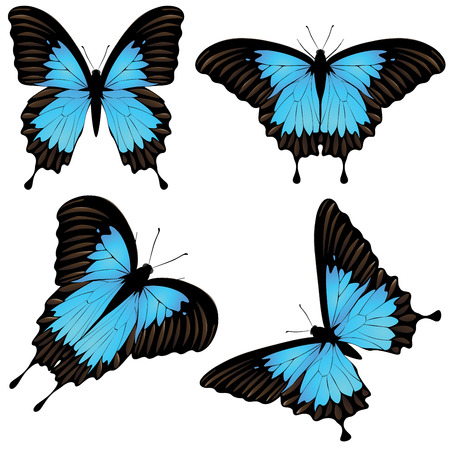 feelers: Collection of papilio ulysses butterflies, blue mountain swallowtail illustration.