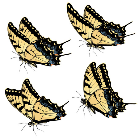 swallowtail butterfly: Black yellow tiger swallowtail, big machaon butterfly illustration. Illustration