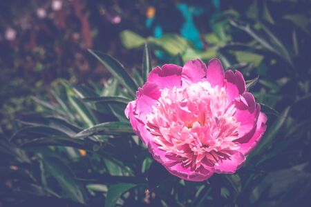 flori culture: Decorative pink peony flower in the garden, close up vintage background.
