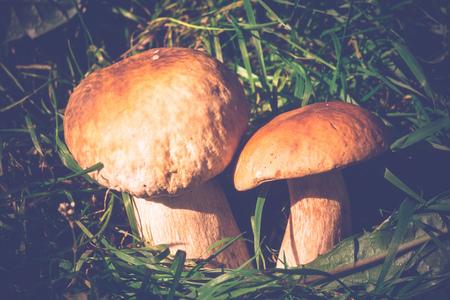 porcini: Edible mushroom, porcini mushroom in green grass, vintage background. Stock Photo