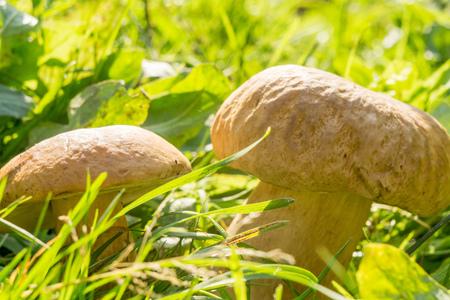 porcini: Edible mushroom, porcini mushroom in green grass.
