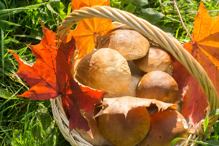 porcini: Fresh porcini mushrooms in a wicker basket with maple leaves.
