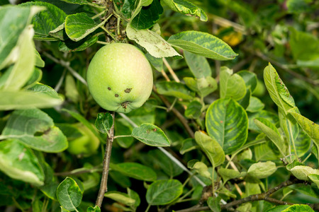 ripening: Fresh green apple ripening in the tree in the garden. Stock Photo