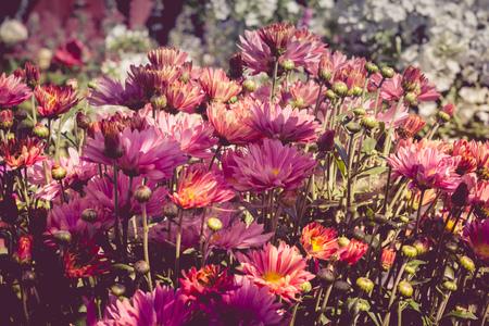 daisy pink: Golden daisy, pink chrysanthemum bush in the garden, autumn flowers.