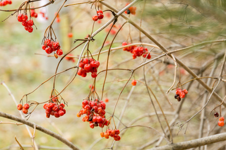 Bright red mountain ash berries on a branch in autumn.