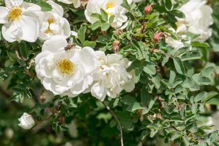 Pretty white roses blooming in a summer garden.
