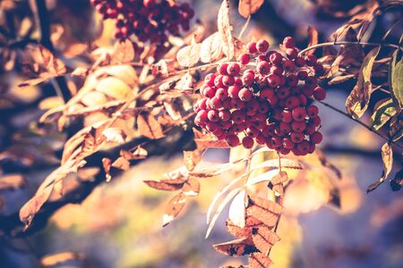 Bright red mountain ash berries on a branch in autumn, vintage colors.