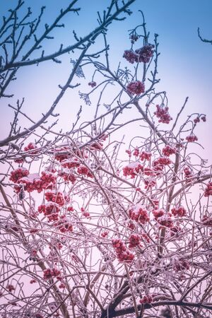 Red rowan, mountain ash berries covered by snow.