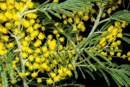 arbol de pascua: Small flowers of yellow mimosa macro shot.