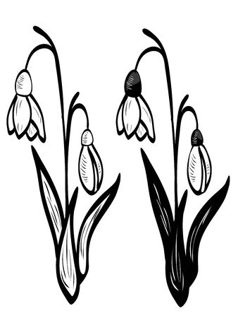 Blooming spring flowers white snowdrop with leaves illustration. Illustration