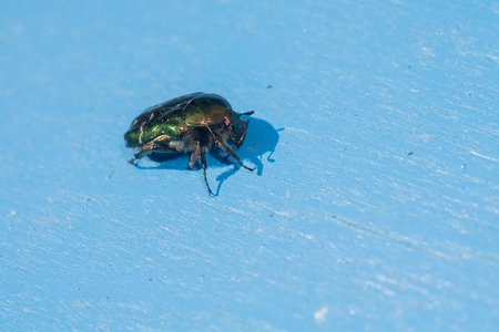 Bright green may beetle close up on a wooden table.