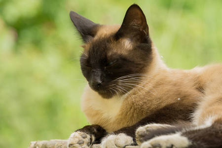 Summer portrait of the blue eyed siamese cat enjoying sunny day.