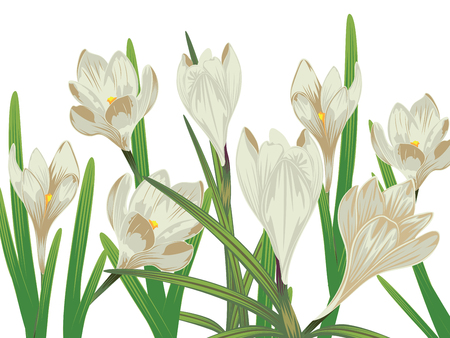 Spring flowers, white blooming crocus or saffron design.