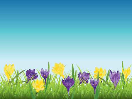 Spring flowers, colorful blooming crocus with green grass design. Illustration