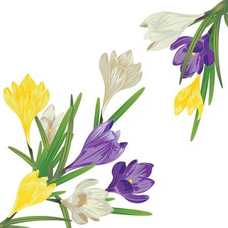 Spring flowers, colorful blooming crocus or saffron design.