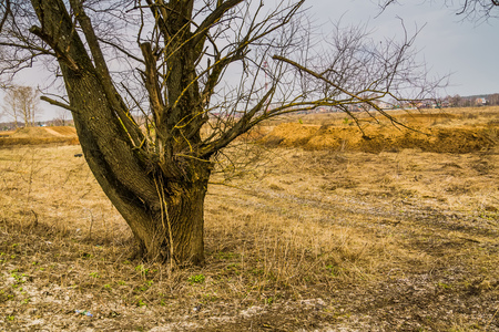 Big alone tree with branches without leaves. Stock Photo