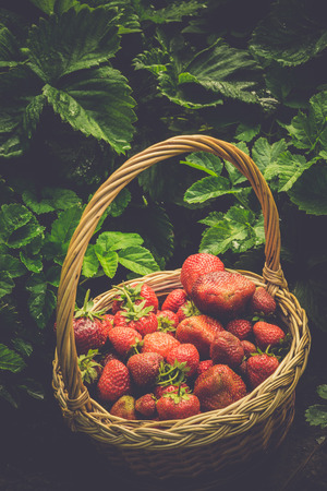 berry: Fresh red, juicy strawberry in a woven basket on the green grass, toned photo.