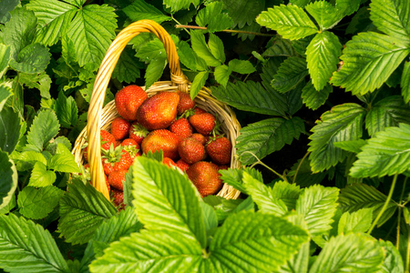berry: Fresh red, juicy strawberry in a woven basket on the green grass.