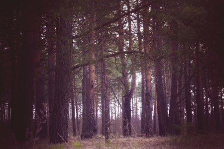 Early morning light in the pine forest, spring forest filtered background. Banco de Imagens
