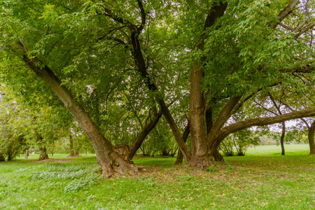 Big crooked trees with green leafs in the city park at early autumn.