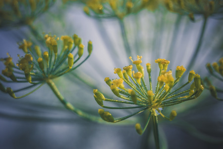 Flower dill spices growing in the garden filtered.