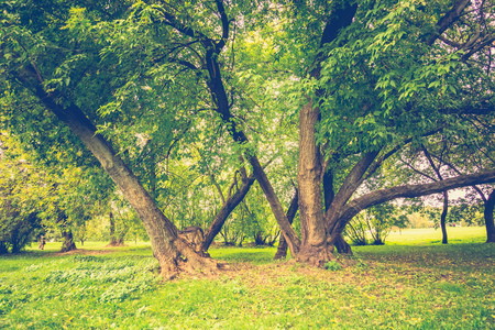Big crooked trees with green leafs in the city park at early autumn, filtered.