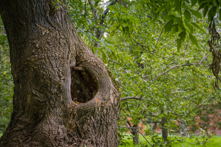 Hole in the trunk of an old tree in the park. Stock Photo