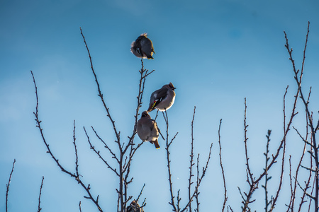 Hungry waxwing birds sitting on frosted tree branches. Stock Photo