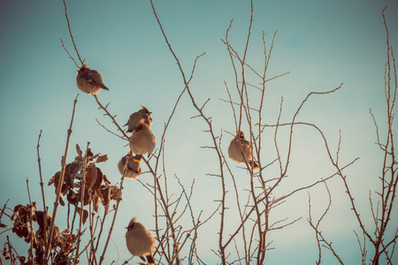 Hungry waxwing birds sitting on frosted tree branches, filtered.