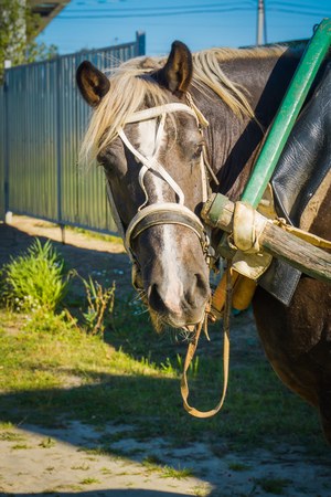 Rural portrait of a horse in harness, sunny summer day. Stock Photo