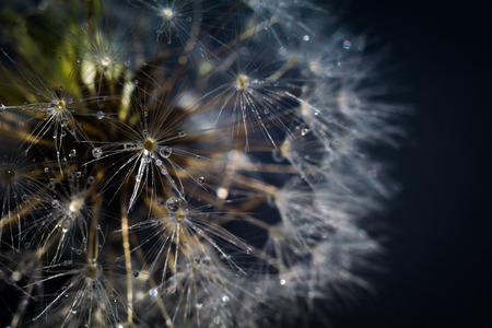 Close up photo of dandelion seeds with water drops. Stock Photo