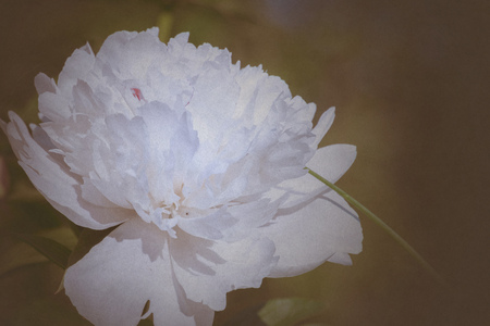 Decorative peony flower of white color blooms in the garden stock decorative peony flower of white color blooms in the garden filtered background stock photo mightylinksfo