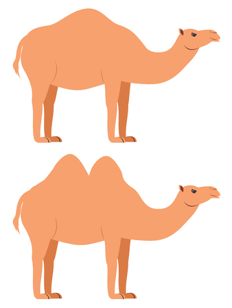 Cute cartoon desert camel illustration on white background. 일러스트