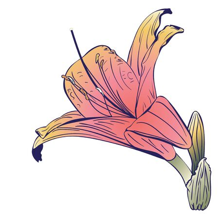 Floral illustration, pink yellow lily flower design.