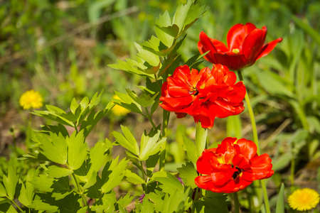 Bright red tulips blooming in the flower bed background. Banco de Imagens
