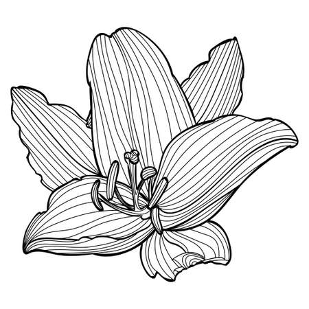 Black and white lily flower line art illustration. Vector Illustratie