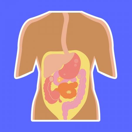 small intestine: Las estructuras dentro del cuerpo humano, el �rgano